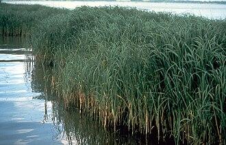 Halophyte - Spartina alterniflora (cordgrass), a halophyte.