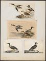 Spatula clypeata - 1700-1880 - Print - Iconographia Zoologica - Special Collections University of Amsterdam - UBA01 IZ17600477.tif