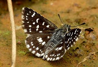 <i>Spialia galba</i> species of insect