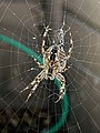 Spider on web in San Francisco.jpg