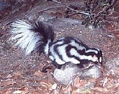 240px spilogale gracilis
