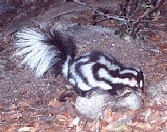 Spotted skunk - Western spotted skunk (Spilogale gracilis)