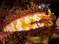 Spondylus varians (Variable thorny oyster).jpg