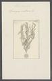Spongia suberosa - - Print - Iconographia Zoologica - Special Collections University of Amsterdam - UBAINV0274 112 05 0015.tif