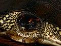 Spotted-legged Turtle (Rhinoclemmys punctularia) (25589671058).jpg