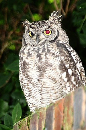 Red-eye effect - Image: Spotted Eagle Owl 2501MGRed Eye