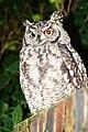 SpottedEagleOwl2501MGRedEye.jpg