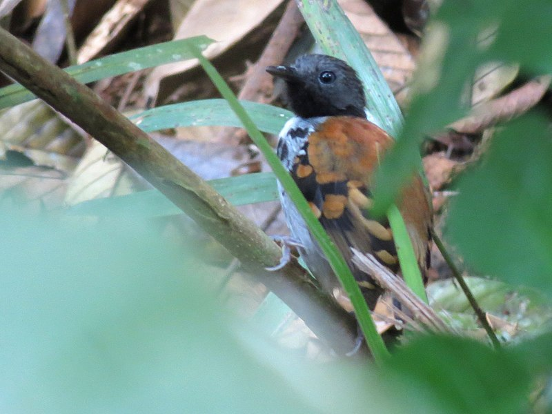 File:Spotted Antbird - Flickr - treegrow.jpg