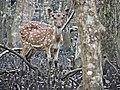 Spotted Deer (BNP).jpg