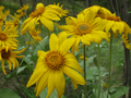Spring Okanagan Sunflowers (Balsamorhiza sagittata) in East Knox Mountain Park.png
