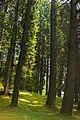 Spruce trees at Rosa Delle Alpi, Esino Lario.jpg