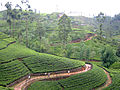 Sri lanka - nurelia teeplantagen.JPG