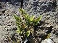 Starr-021114-0082-Asplenium adiantum nigrum-habit-Science City-Maui (23925087194).jpg