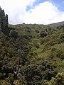 Starr-030603-0025-Metrosideros polymorpha-habit in gulch-HNP-Maui (24339552270).jpg