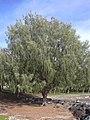 Starr-031209-0048-Casuarina equisetifolia-habit-Launiupoko Beach Park-Maui (24050081833).jpg