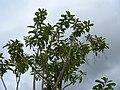 Starr-060429-8006-Charpentiera obovata-habit-Auwahi-Maui (24836173106).jpg