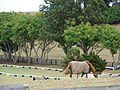Starr-060928-0507-Jacaranda mimosifolia-habit and horses-Makawao Veterinary Clinic-Maui (24239762903).jpg