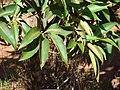 Starr-070402-6334-Lophostemon confertus-leaves-Near Kapano Gulch-Lanai (24792852961).jpg