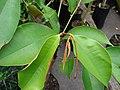 Starr-070906-8589-Chrysophyllum cainito-Haitian star apple leaves-Kula Ace Hardware and Nursery-Maui (24263506074).jpg