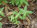Starr-070908-9235-Eucalyptus globulus-germinating after fire-Polipoli-Maui (24799469631).jpg