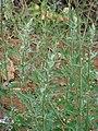 Starr-090426-6374-Chenopodium album-fruiting habit-Lower Kula Rd Kula-Maui (24585017869).jpg