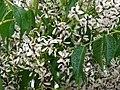 Starr-090518-7884-Melia azedarach-flowers-Omaopio-Maui (24324763794).jpg