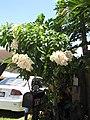 Starr-090714-2711-Mussaenda sp-flowering habit-Napili-Maui (24969627515).jpg