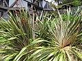 Starr-100616-7083-Phormium tenax-flowering habit-Waipoli Rd Kula-Maui (24922453582).jpg