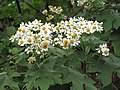 Starr-101130-9605-Montanoa hibiscifolia-flowers-Ulupalakua-Maui (24430380403).jpg