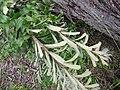 Starr-110331-4615-Banksia marginata-leaves-Shibuya Farm Kula-Maui (25055649686).jpg