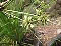 Starr-120504-5527-Cyperus trachysanthos-seedheads-Maui Nui Botanical Garden-Maui (24774510649).jpg