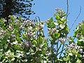 Starr-120513-9511-Calotropis gigantea-flowers and leaves-Waihee Coastal Preserve-Maui (24775113209).jpg