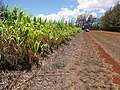 Starr-120702-7859-Cenchrus purpureus x glaucum-Hoolehua PMC hybrid Pearl Millet x banagrass-USDA Plant Materials Center-Molokai (25186151915).jpg