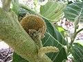 Starr-121108-0734-Solanum quitoense-fruit-Pali o Waipio-Maui (24900425240).jpg
