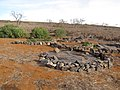 Starr-121220-1361-Ipomoea batatas-habit-Lua Makika-Kahoolawe (24831404189).jpg