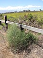 Starr-130618-5211-Asparagus officinalis-habit along fence-Kealia Pond NWR-Maui (25094398232).jpg