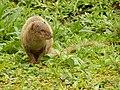 Starr-140222-0348-Paspalum conjugatum-habitat with panhandling mongoose-Puaa Kaa Hana Hwy-Maui (24613754083).jpg