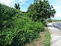 Starr-151019-0290-Cordia subcordata-habit-Pukalani-Maui (26215950971).jpg
