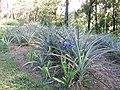 Starr-160906-5176-Agapanthus praecox subsp orientalis-flowering habit border planting pineapple apple patch-Hawea Pl Olinda-Maui (29587180991).jpg