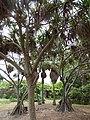 Starr-160912-0579-Pandanus tectorius-habit-Maui Nui Botanical Garden Kahului-Maui (29042233864).jpg