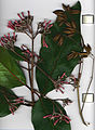 Starr 020515-9002 Cinchona pubescens.jpg