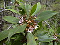 Starr 030628-0047 Myoporum sandwicense.jpg