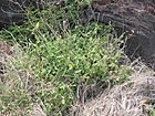 Starr 050517-1533 Achyranthes aspera var. aspera.jpg