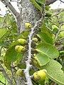 Starr 051029-5081 Diospyros sandwicensis.jpg