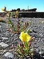 Starr 051202-5583 Oenothera stricta subsp. stricta.jpg