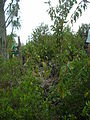 Starr 060325-9020 Santalum freycinetianum var. lanaiense.jpg
