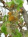Starr 060429-8013 Nothocestrum latifolium.jpg