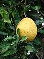 Starr 070313-5664 Citrus maxima.jpg