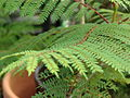 Starr 070906-8537 Jacaranda mimosifolia.jpg