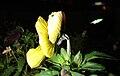 Starr 071222-0354 Viola sp..jpg